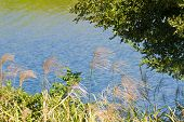 picture of pampas grass  - This is a photo of pampas grass by the riverside - JPG