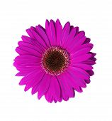 stock photo of violet flower  - beautiful violet gerbera flower isolated with clipping path - JPG