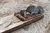 picture of dead mouse  - A dead mouse caught in a mousetrap - JPG