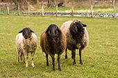 foto of feedlot  - three different sheep on a farm looking in the camera - JPG