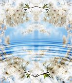 picture of cherry-blossom  - beautiful japanese cherry blossoms reflected in water - JPG