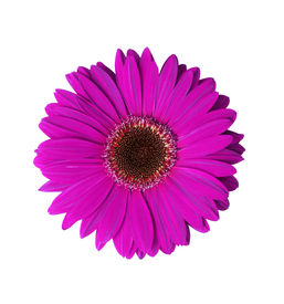 picture of violet flower  - beautiful violet gerbera flower isolated with clipping path - JPG