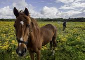 image of tansy  - Horses in a yellow tansy summer field