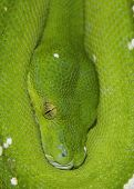 foto of green tree python  - Close up shot of a Green Tree Python - JPG