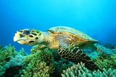 Hawksbill Turtle And Coral Reef