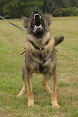image of alsatian  - A police dog shows the business end of his teeth - JPG