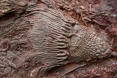 foto of paleozoic  - fossil found in south east of morocco - JPG