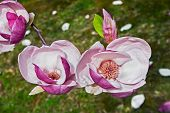 stock photo of saucer magnolia  - magnolia flowers on a branch on a natural background
