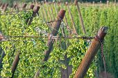 foto of bine  - detail of hop garden in the summer - JPG