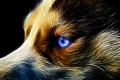 picture of sled dog  - siberian husky pet dog love sexy close up blue eyes - JPG