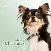 Close-up of a shaggy Chihuahua on a christmas fancy background