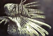 picture of lion-fish  - Illustration made with a digital tablet scorpion fish dangerous - JPG