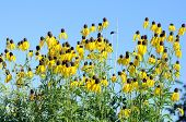 picture of black-eyed susans  - black eyes susan in garden under sunshine - JPG