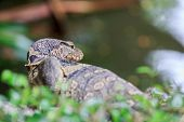stock photo of giant lizard  - Back of Water monitor  - JPG