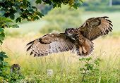 pic of bird fence  - A large Eagle Owl prepares to land on a fence - JPG