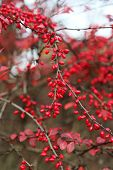picture of barberry  - A branches of the ripe berries of barberry - JPG