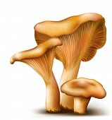 picture of chanterelle mushroom  - Three mushrooms Chanterelle on white background - JPG