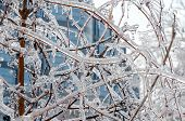 picture of freezing  - Twigs of tree encased in ice after a freezing rain storm - JPG