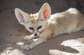 picture of omnivore  - Closeup of desert fennec fox Vulpes zerda in captivity lying down - JPG