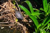 foto of terrapin turtle  - A painted turtle on a log in a pond - JPG