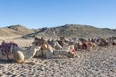 foto of dromedaries  - Herd of dromedary camels at egyptian bedouin village in remote mountain rocky desert - JPG