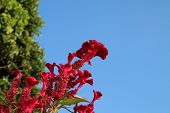 stock photo of cockscomb  - red cockscomb blooming in blue sky day - JPG