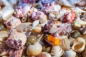 stock photo of sanddollar  - Starfish and seashells souvenirs for sale at street - JPG