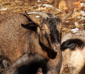 stock photo of pygmy goat  - A view of a beautiful miniature cameroonian goat - JPG