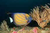picture of angelfish  - Ring Angelfish - JPG