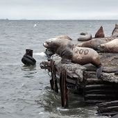 picture of sea lion  - Nature of Kamchatka Peninsula - JPG
