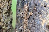 image of hemidactylus  - close up House small lizard on the tree - JPG