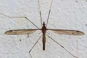 picture of daddy  - insect daddy longlegs close up  in forest  - JPG