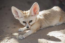 picture of omnivore  - Closeup of desert fennec fox Vulpes zerda in captivity lying down - JPG