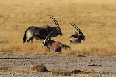 image of antelope horn  - Group gemsbok gemsbuck or oryx standing in field Namib Desert Namibia Africa - JPG