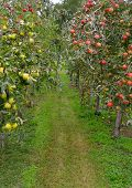stock photo of apple tree  - apple orchard with red and green apples - JPG