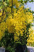 foto of vishu  - Flower of Golden Shower Tree Thai National Flower - JPG