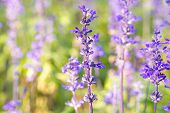 stock photo of salvia  - Beautiful spring background with Salvia farinacea Benth - JPG