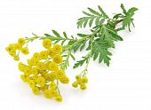 image of tansy  - Fresh blossom tansy on a white background - JPG
