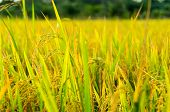 foto of rice  - rice fields or rice paddies stalks of rice - JPG