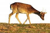 picture of calf  - isolated fallow deer calf grazing  - JPG