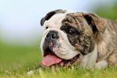 Close-up Of Purebred Bulldog poster
