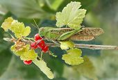 stock photo of locusts  - green big locust on a branch red currant - JPG