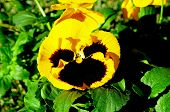 foto of angiosperms  - Yellow and black pansy Winter flowering plant - JPG