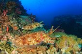 picture of cuttlefish  - Pair Pharaoh Cuttlefish mating on coral reef - JPG