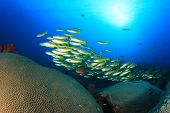 stock photo of school fish  - School yellow fish and coral  - JPG