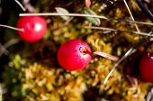 picture of swamps  - Cranberry growing in a swamp close up - JPG