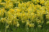 picture of cowslip  - Field of flowering yellow cowslips in the spring - JPG