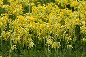 foto of cowslip  - Field of flowering yellow cowslips in the spring - JPG