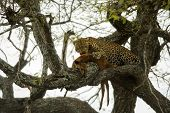 stock photo of leopard  - Leopard in a tree with its prey - JPG