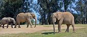 picture of mammal  - Elephants are large mammals of the family Elephantidae and the order Proboscidea - JPG